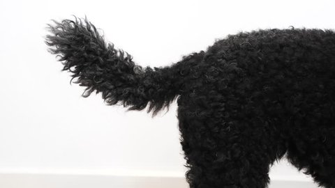 Black dog wags his tail, close up