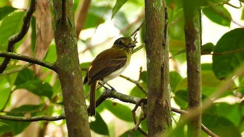 Bright-Rumped Attila Attila Spadiceus perched on slowly moving branch