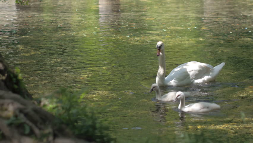 The big swan and two baby swans swim on the river