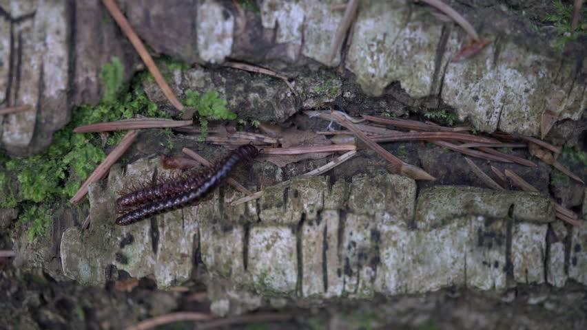 Millipede Kivsyak mated in the forest macro video