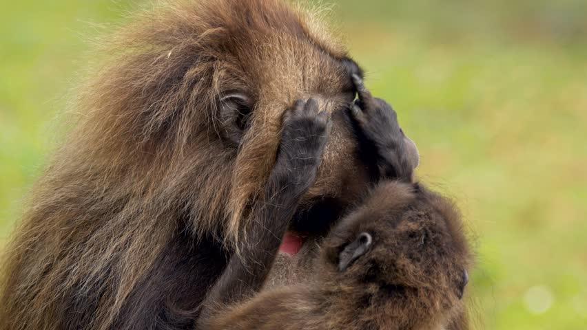 Gelada (Theropithecus gelada) grooming