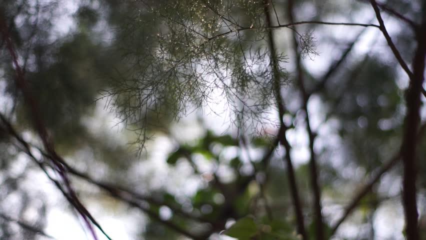 Header of Casuarinaceae
