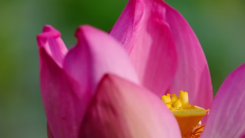 Fresh pink lotus flower. Close focus of a beautiful pink lotus flower with copy space for text or advertising. The background is a pink lotus flowers, green leaf and yellow lotus bud in a pond