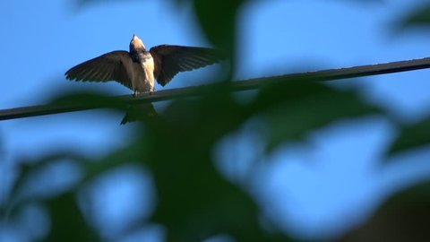 Single Swallow sitting on power line in evening sun. View through green trees. bird flapping with wings