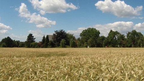 The wind walks through the golden field.