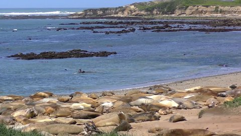 Northern Elephant Seals (Mirounga angustirostris) in the Ano Nuevo State Park in Califonia, USA