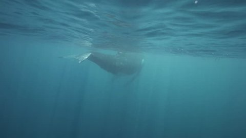 humpback whale fluke Shot underwater  from behind while the whale is Swimming away
