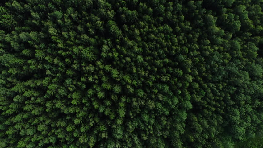 4K HD Aerial view camera moves rising up from green forest of dense mixed tree tops of pine trees and birches, fur tree. Drone footage.