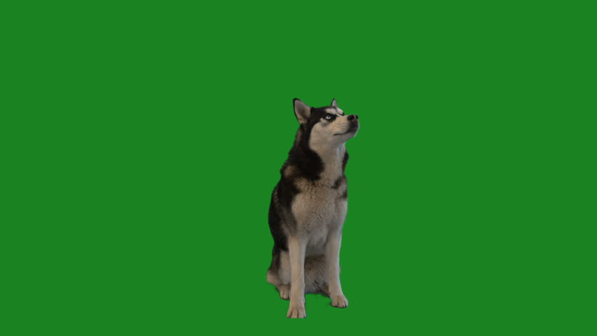 husky sitting and licking on green screen #1012836128