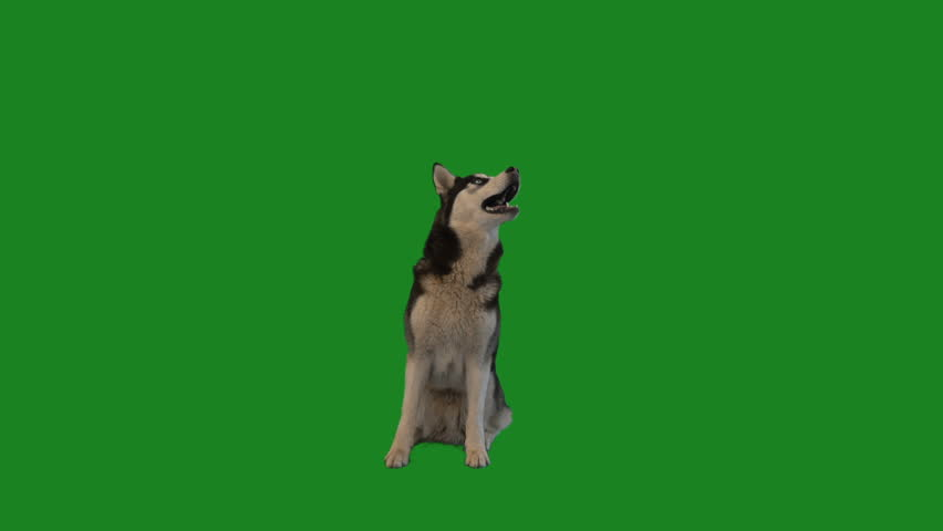 husky is sitting and looking at the green screen #1012836188