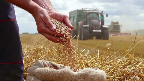 Wheat grain in a hand after good harvest of successful farmer, in a background agricultural machinery combine harvester and tractor working on field, slow motion