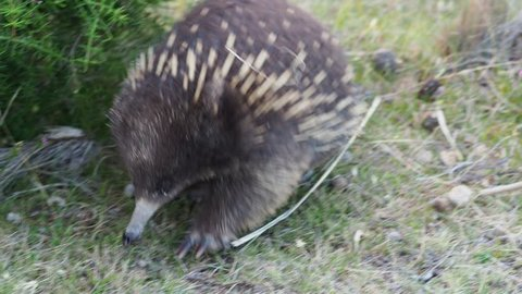 Tachyglossus aculeatus - Short-beaked Echidna in the Australian bush. Eating ants and walking.