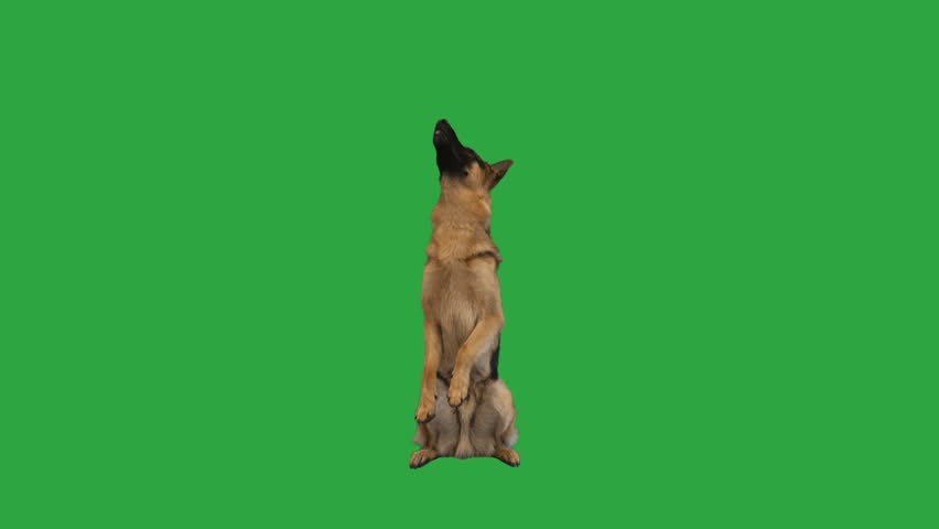German Shepherd is standing on its hind legs and barking on the green screen #1012919738