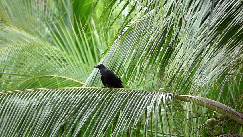 Common Raven Bird (Corvus Corax) Sitting on Palm Tree