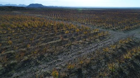 Aerial drone scene of fruit trees plantation with commercial purpose in autumn, fall, in San Rafael, Mendoza, Argentina. Camera moving forwards. Pampa landscape. Mountains on the background.