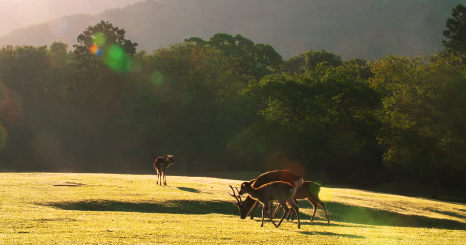 Nara deer roam free in Nara Park, grazing on grassland in the beautiful morning sunlight, 4k