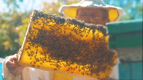 beekeeper holding a honeycomb full of bees. Beekeeper inspecting honeycomb frame at lifestyle apiary. Beekeeping concept slow motion video. beekeeper holding a honeycomb full of bees.
