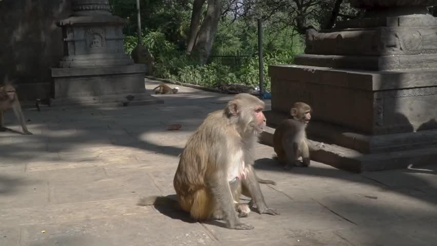 A family of monkeys in the city of Kathmandu near the Buddhist temple of Swayambhunath.