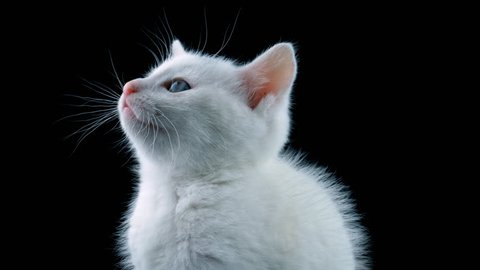 White cat, close-up view, looking around, meows, isolated on black background, ProRes source codec