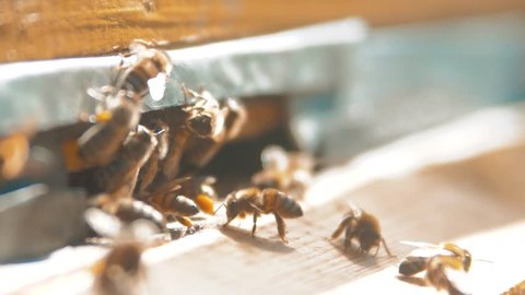 slow motion video. a swarm of bees flies into a lifestyle hive collect the pollen bear honey. beekeeping concept bee agriculture