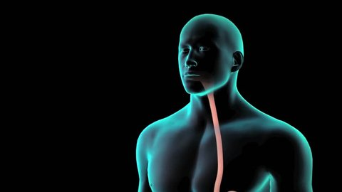 3D animation of transparent human male digestion demonstrated through eating and swallowing showing path through mouth, esophagus into stomach through highlight of white