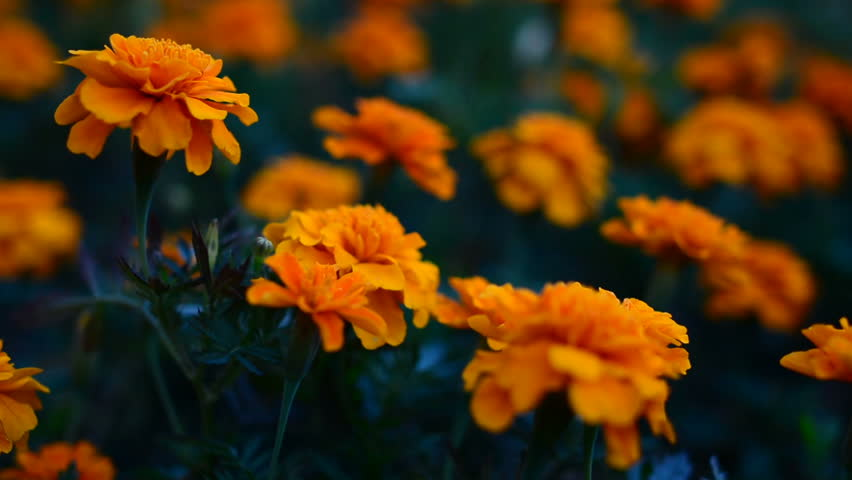 The flower Tagetes patula in the garden. Marigold Tagetes patula flowers. Beautiful group yellow and red flowers Tagetes Patula.