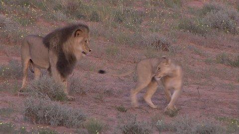 Kalahari lions mating