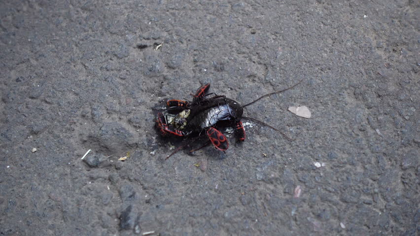 The bug soldier is eating a dead cockroach. Bedbugs attacked the cockroach. Food chain in nature. The bug is involved in the food chain.