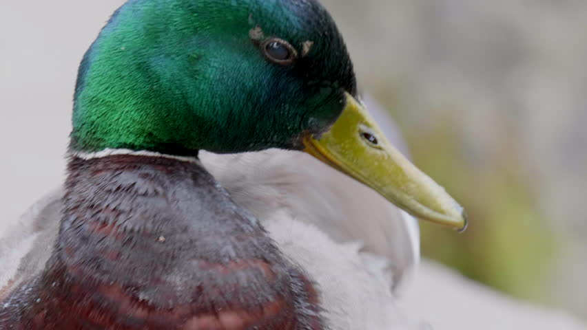 Mallard Duck Close Up, Nature Green Bird Wildlife, Slow Motion