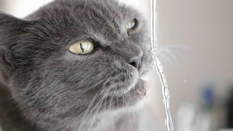 a British shorthair is drinking in slow motion