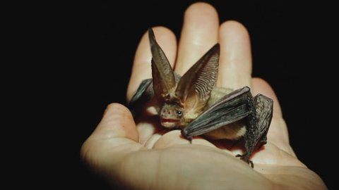 A long-eared bat sits on a hand, looks around, stretches its wings and finally takes off.