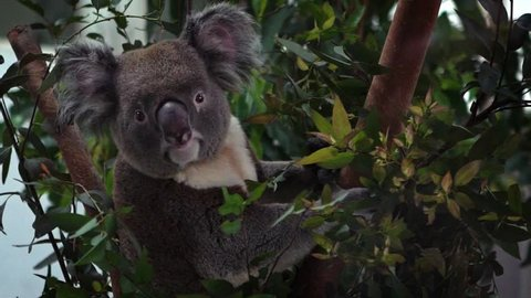 A cute koala Koala relaxing on eucalyptus tree with green leafs in the woodlands at a zoo. Phascolarctos cinereus is an arboreal herbivorous marsupial native to Australia.-Dan