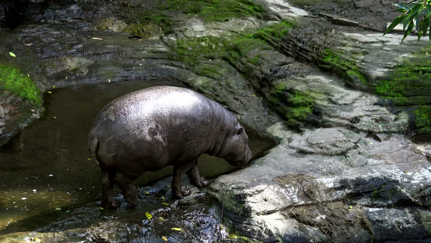 4K, A pygmy hippo walking near the water river in the forest of a zoo. Pygmy Hippopotamus is semi-aquatic mammal from Africa, Liberia.-Dan