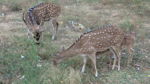 Sri Lankan axis deer grazing in public park among plastic bags and other trash, in Trincomalee, Sri Lanka