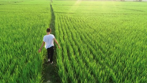 Aerial view of rice field, A man walking at green rice field in the morning, Field Farmer Walking Sunlight Landscape Nature Agriculture Growth Drone Footage Man Sky Renewable Energy.