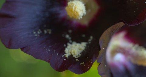 Hollyhock flower style stigma stamen pollen dust