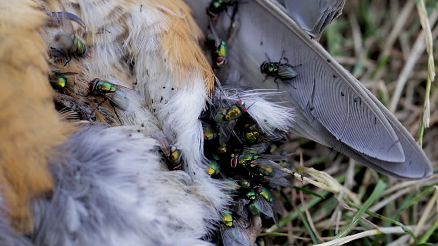 Flies on a dead bird. First stages of decomposition. Flies laying eggs on a dead robin in the forest. Life and death concept of insects on a bird cadaver. Close up of the cycle of life and death.  | Shutterstock HD Video #1013564678