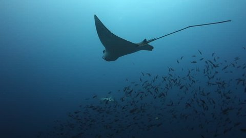 Swimming around and following eagle ray as it swims along the reef with divers in the background at Wolf Island in the Galapagos Islands