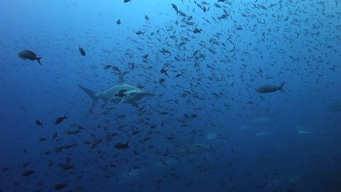 Hammerhead shark swims close past with shoal of small fish behind at Wolf Island in the Galapagos.
