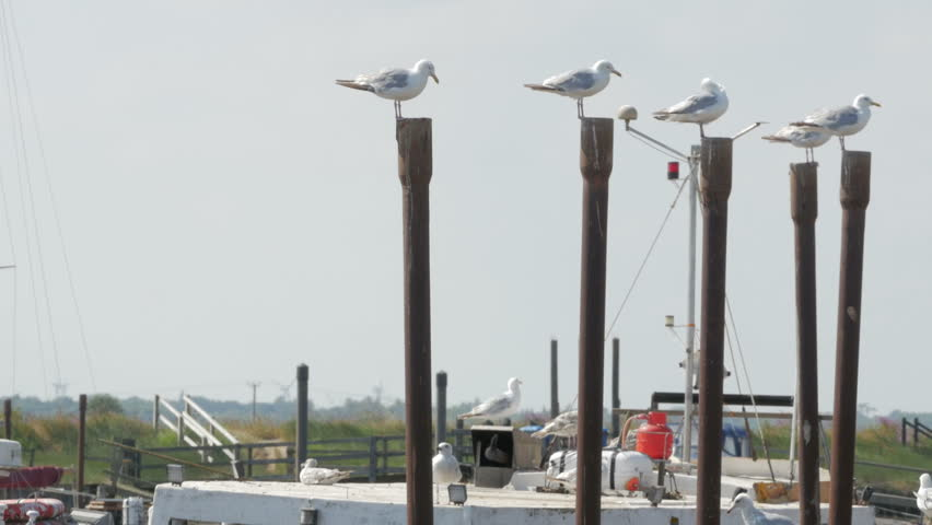 Southwold, Suffolk, England - July 2018. Seagull pecking order, Seagulls perched on the jetty posts in pecking order, Southwold Harbour, River Blyth, Suffolk, England, United Kingdom