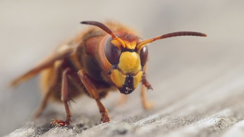 Animal Insect Hornet Super Close Up in slow motion