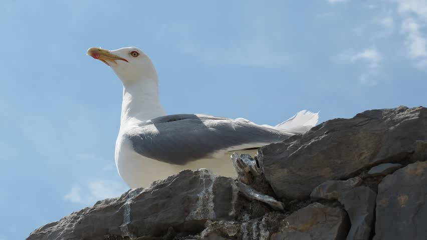 Seagull on a wall close-up | Shutterstock HD Video #1013652848