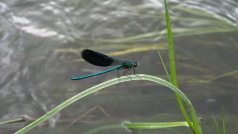 An extremely close-up of a blue dragonfly that sits on the river grass and swings in the wind over a stormy stream of water on a Sunny summer day. 4K. 25 fps.