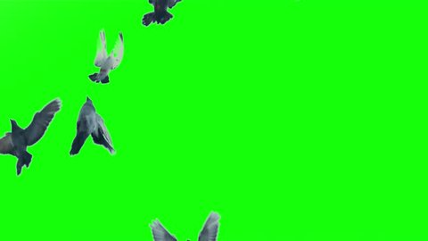 Slow motion shot of pigeons flying on green screen and on white background.