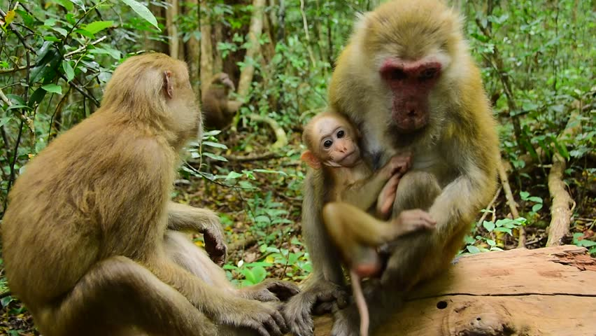 funny infant monkey, Assam macaque