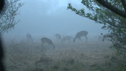 whitetail deer in texas