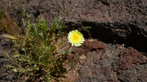 A yellow flower blows in the wind in a high desert California lava flow.