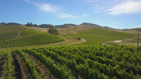 A vineyard on a picture-perfect sunny day with blue skies