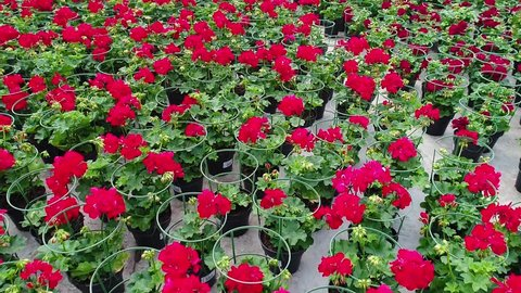 Growing decorative flowers in a greenhouse, a greenhouse with flowers, Greenhouse With Blooming Geranium Plats, Greenhouse With Blooming Geranium Plats, floral business