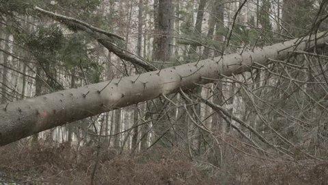 Spruce tree is falling down